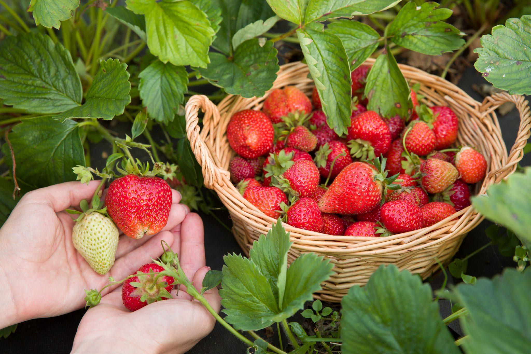 Enjoy & explore 3 Strawberry Farms near Kerley Communities