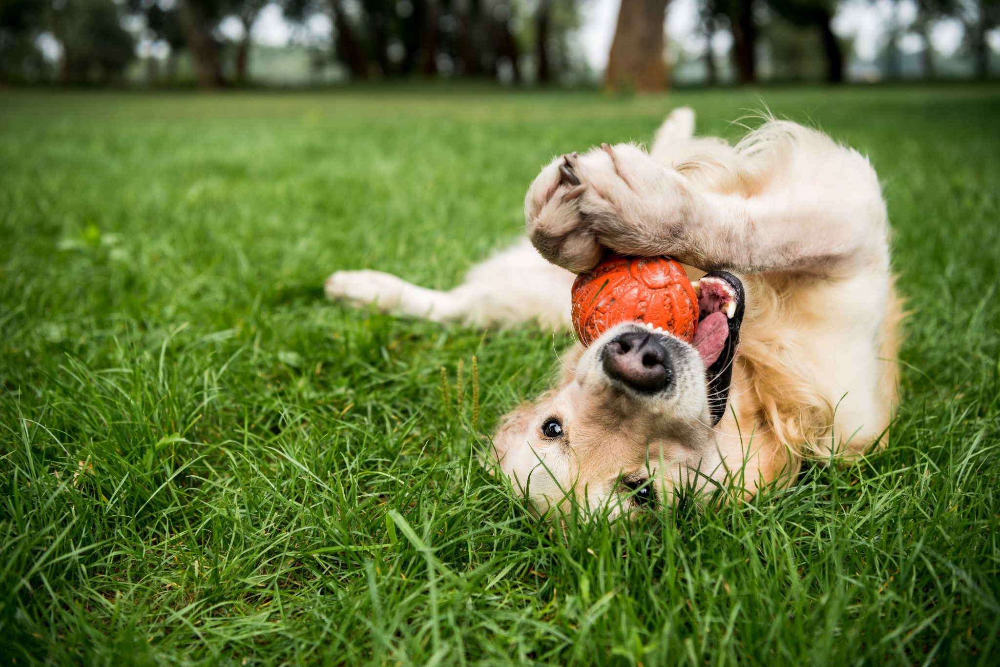 Dog rolling over with toy in grass park