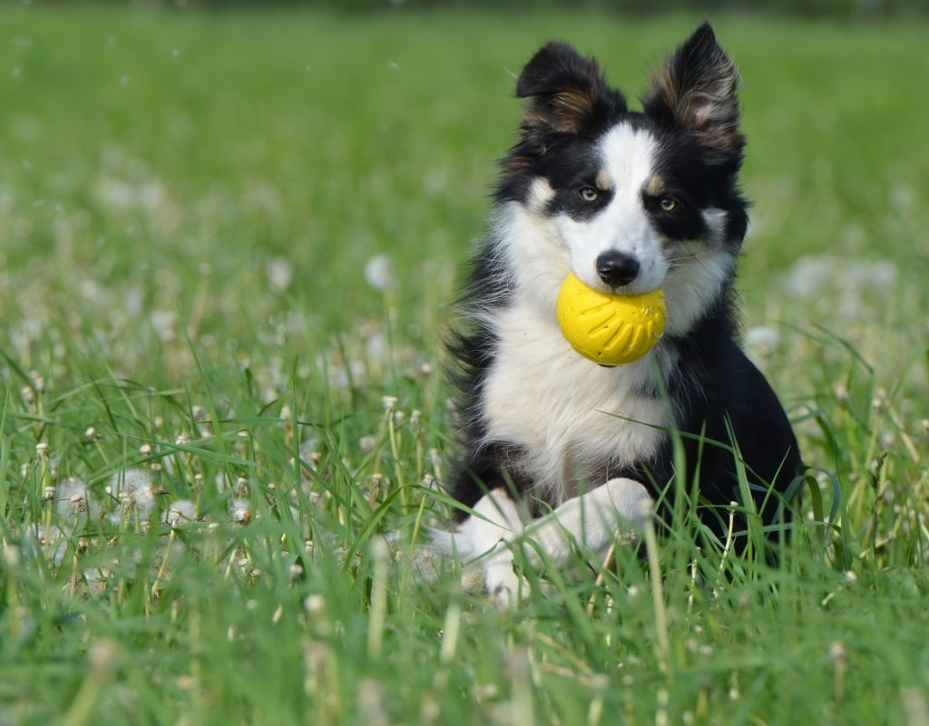 Border Collie with yellow ball running in a grass field