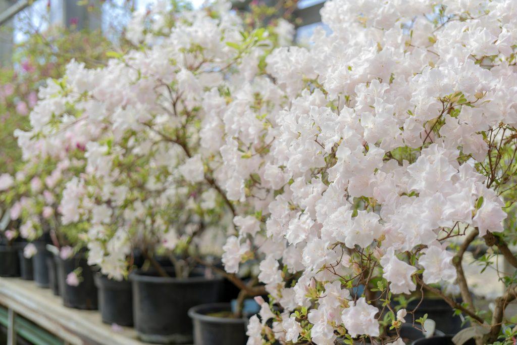 Summer Flower Blooming in a Nursery